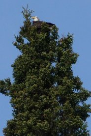 Kasilof bald eagle.