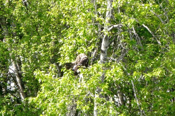 Young bald eagles spotted from the Kasilof.