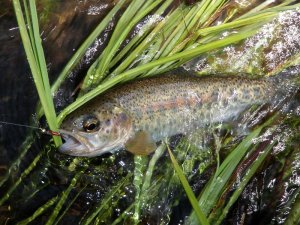 Wild rainbow from Stream X.