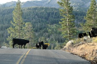 Morning commute traffic on the Sonora Pass Highway.