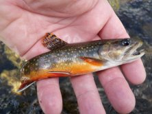 Typical brook trout, one of many, caught in Rock Creek and its lakes.