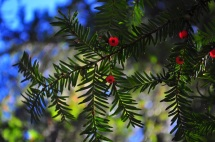 Pacific Yew in one the few places it grows alongside sequoias.