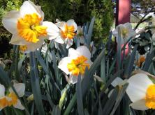 Daffodils at Ironstone Winery