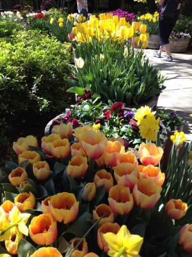 More Tulips at Ironstone Winery