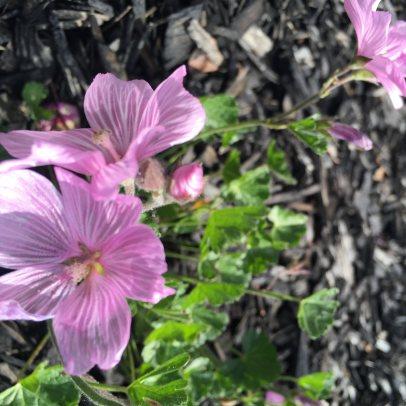 Checker Bloom (Sidalcea malvaeflora)