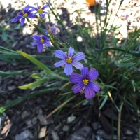 More blue-eyed grass showing how purple it is.